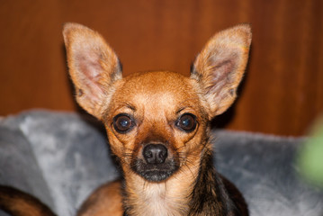 small dog with scared face and big ears