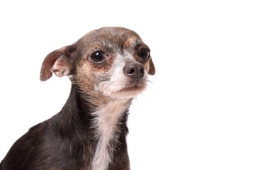 Scared little chihuahua dog