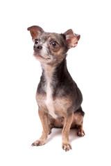 Chihuahua dog portrait