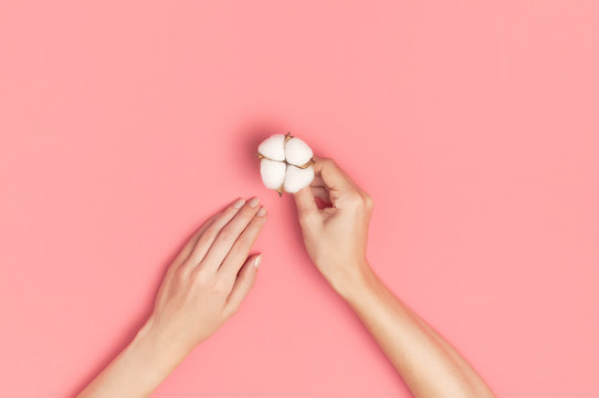 Creative composition with cotton. Hands of young woman holding white cotton flowers on pink background. Top view flat lay copy space. Cotton flowers. Lifestyle gentle background