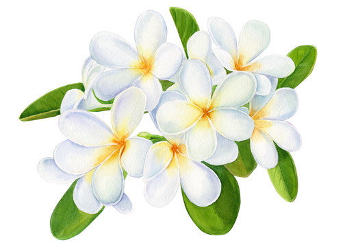 summer tropical flowers, plumeria on isolated white background, watercolor illustration, hand drawing