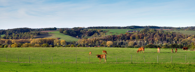 Wall Murals Blue sky meadow with brown limousin cows in the fall in dutch province of south limburg