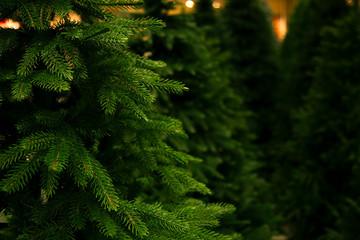 Fototapeta Christmas trees for sale. obraz