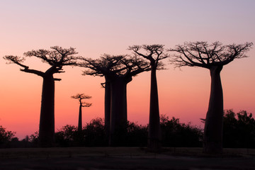 Keuken foto achterwand Baobab Beautiful sunset Baobab Alley. Madagascar. Africa