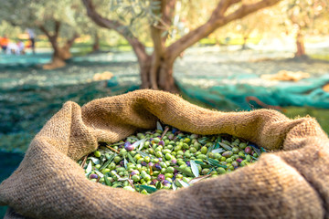 Fotobehang Olijfboom Harvested fresh olives in sacks in a field in Crete, Greece for olive oil production, using green nets.