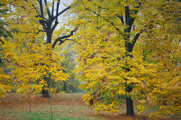 Beautiful fall landscape with yellow trees and leaves. Colorful autumn foliage with falling leaves.