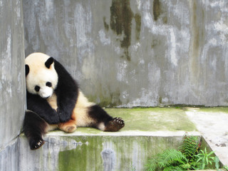 Keuken foto achterwand Panda Sad, lonely and sleeping panda bear sitting in a concrete enclosed pen, Chengdu, China