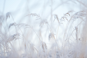 Frost covered grasses in winter landscape, selective focus and shallow depth of field
