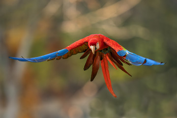 Scarlet macaw flying in the wild nature