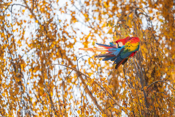 Scarlet macaw sitting on the tree with yellow leaves