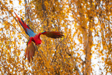 Tropical parrot flying down from the tree. Scarlet macaw with spread wings.