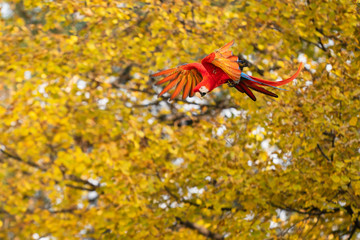 Flying scarlet macaw from side with yellow trees in the background.