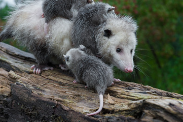 Virginia Opossum Joey (Didelphis virginiana) Prepare to Climb Up on Mothers Back Summer