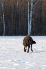 Black Phase Grey Wolf (Canis lupus) Stalks Forward  in Field Winter