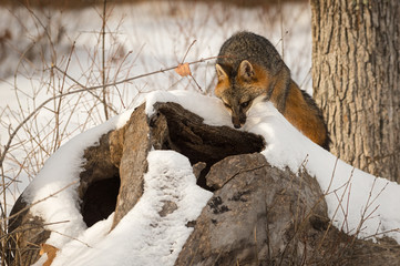 Grey Fox (Urocyon cinereoargenteus) Looks Down Into Log Winter