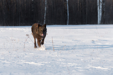 Black Phase Grey Wolf (Canis lupus) Runs Forward in Field Licking Nose Winter