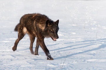 Black Phase Grey Wolf (Canis lupus) Runs to Right in Field Winter