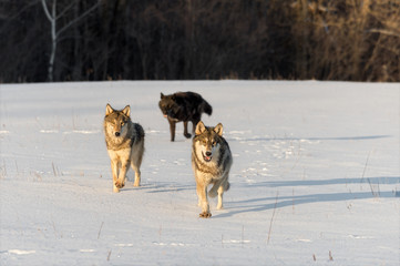 Trio of Grey Wolves (Canis lupus) Run Forward in Snowy Field Winter
