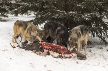 Trio of Grey Wolves (Canis lupus) Feed on Deer Carcass Winter