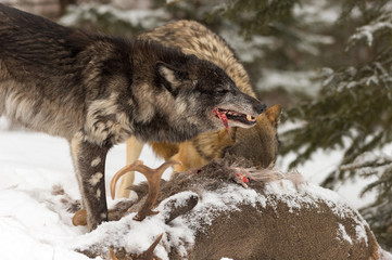 Black Phase Grey Wolf (Canis lupus) Crunches on Meat From Over Deer Carcass Winter