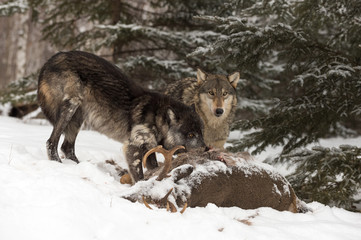 Black Phase and Grey Wolf (Canis lupus) Look Up Over Deer Carcass Winter