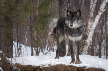 Fotomurales - Black Phase Grey Wolf (Canis lupus) Stands Staring Out From Snow Covered Rock Winter
