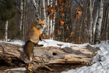 Amber Phase Red Fox (Vulpes vulpes) Sits on Log Winter