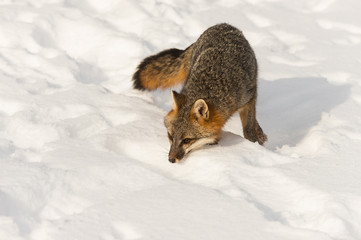 Grey Fox (Urocyon cinereoargenteus) Sniffs Forward in Snow Winter