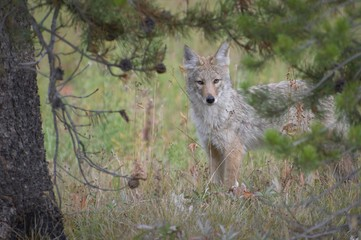 Coyote Posing for a picture