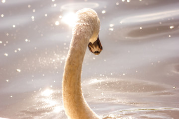 Detailed pic of a Beautiful white swan on a lake with a drop in his lip, the background is blur and the gold light of the sun during the sunset reflects on the surface of the water.Atmosphere Is magic