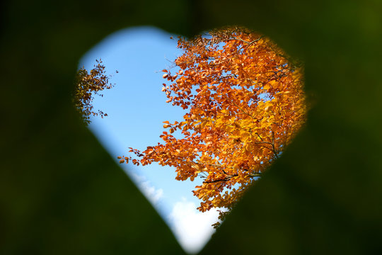 Blue sky, white cloud, copper beech branches and their bright yellow orange leaves seen through green heart shaped leaf. Symbol in nature love and inspiration. Beautiful sunny autumn day.