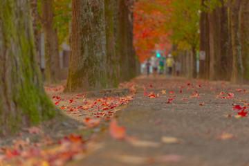 岡山総合運動公園の紅葉並木