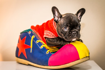 Türaufkleber Französisch bulldog french bulldog puppy on clown shoe