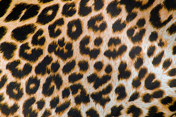 Foto auf Leinwand Leopard closeup of the leopard print fabric texture