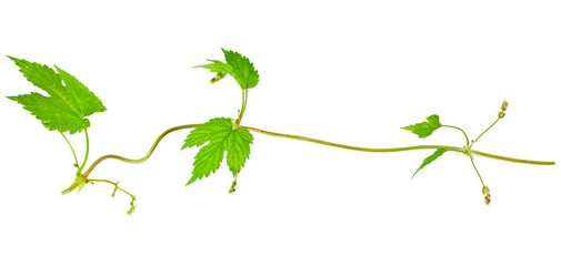 Natural fresh hop plant vine isolated on a white background. Top view.