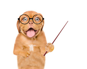 Smart dog wearing a eyeglasses holds a pointing stick and points on empty space. isolated on white background