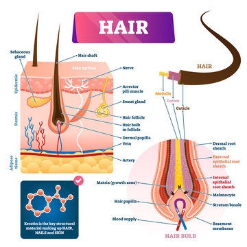 Hair anatomy structure diagram vector illustration