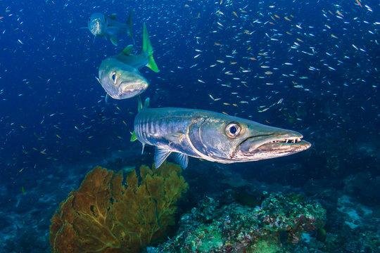 Large Pick-Handle Barracuda on a dark coral reef (Richelieu Rock, Thailand)