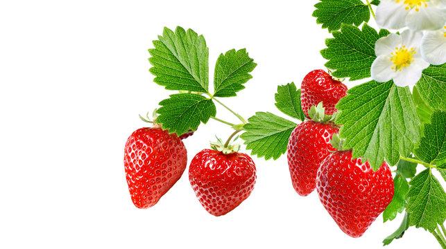 plant garden strawberry on white