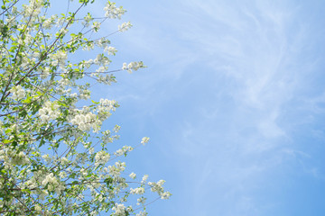 Blooming bird cherry tree branchs on blue sky with clouds.