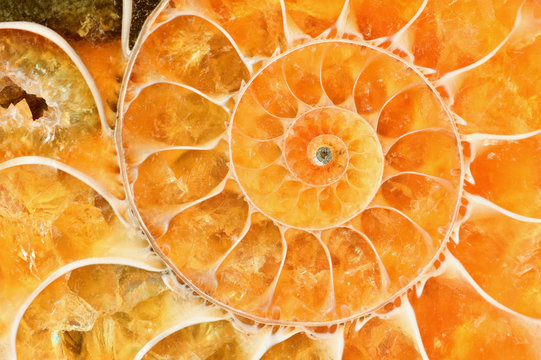 Beautiful bright amber-colored ammonite shell. Ancient fossil in macro close up.