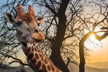 Papiers peints Girafe Giraffe on a background of cloudy sky at sunset.