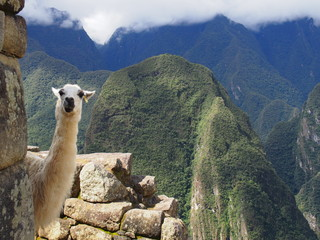 Llama peeking out from the wall of the ruins with a spectacular view behind it, Ruins of Inca Empire city, Machu Picchu, Peru