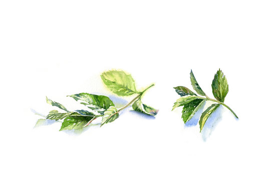 Watercolor mint branches bundle. Hand drawn botanical illustration set isolated on white. Realistic herbs element for food recipes, labels, banners