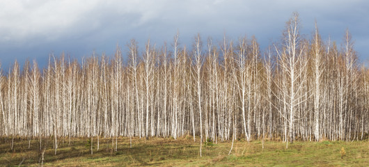 A birch grove on a spring sunny day.