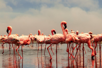 Wild african birds. Group of African red flamingo birds and their reflection on clear water. Walvis bay, Namibia, Africa