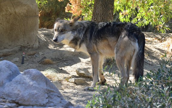 Mexican wolf at an American zoo.