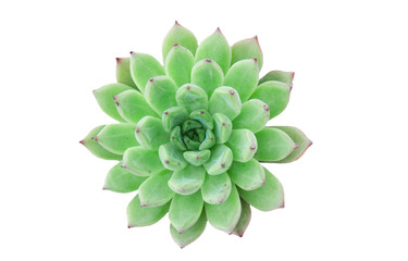 Top View of Green Echeveria Succulent Plant ,White Background
