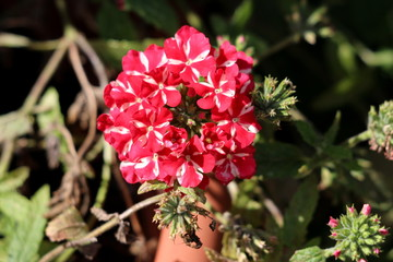 Verbena Sweet dreams Voodoo star plant with bell shaped flower clusters of open blooming vivid red and peachy white starred flowers surrounded with closed clusters of flower buds growing in local home