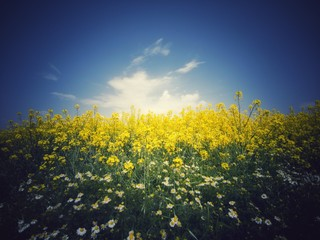 rapeseed field and blue sky, beautiful spring day